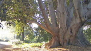 "The first retreat at Mater Dolorosa was preached under the ""old rubber tree"" which still stands on the property."